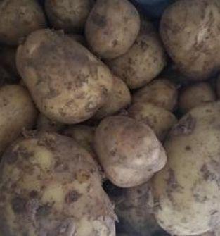 Ziemniak ekologiczny z certyfikatem/ denar
