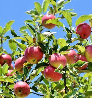Jabłko Naidared