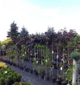Klon pospolity odmiana Purple Globe, Globosum, katalpy kuliste (nana), trawy ozdobne miskanty chińskie,rozplennice,    ZAPRASZAMY DO SZKÓŁKI !!!